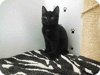Domestic Mediumhair Kitten for adoption in McKinleyville, California - LEAH