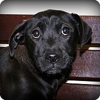 Adopt A Pet :: Snowflake - Glastonbury, CT