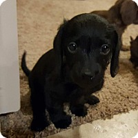 Terrier (Unknown Type, Small) Mix Puppy for adoption in Fort Atkinson, Wisconsin - Tahlia
