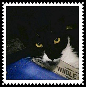 Polydactyl/Hemingway Cat for adoption in Trevose, Pennsylvania - Bebe