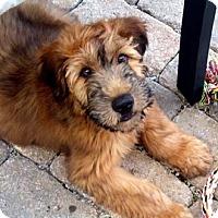Adopt A Pet :: Chew-Baka-Adopted-more comming - El Cajon, CA