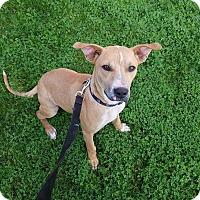 Adopt A Pet :: FIZZ - Phoenix, AZ