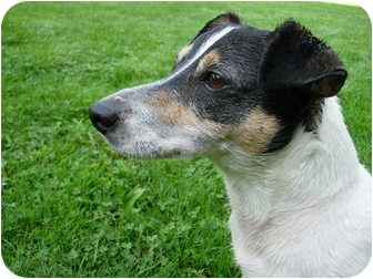 Jack Russell Terrier Mix Dog for adoption in Acme, Pennsylvania - Jack Russell