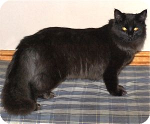 Domestic Longhair Cat for adoption in Colorado Springs, Colorado - K-Hodnick4-Miriam
