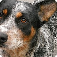 Adopt A Pet :: Heeler - Aloha, OR