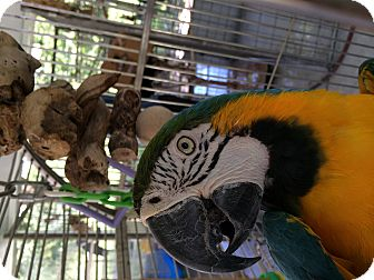 Macaw for adoption in Punta Gorda, Florida - Manessa