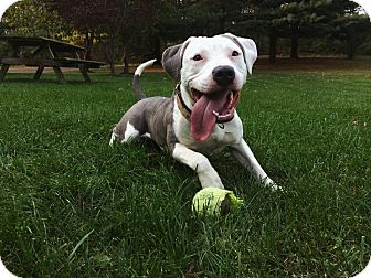 American Pit Bull Terrier Dog for adoption in Shepherdstown, West Virginia - Percy