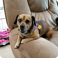 Adopt A Pet :: Cappie - Kirkland, WA
