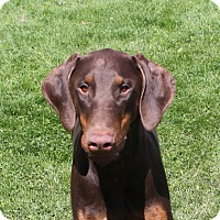 Adopt A Pet :: Duke - 11 Months Old - Bend, OR