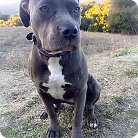 Pit Bull Terrier Dog for adoption in Topanga, California - Ivy
