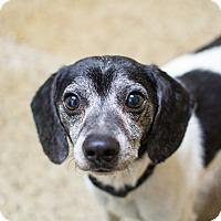 Adopt A Pet :: Oreo - Cranston, RI