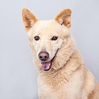 German Shepherd Dog Mix Dog for adoption in Mission Hills, California - Carbone