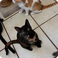 Domestic Shorthair Kitten for adoption in Chippewa Falls, Wisconsin - Kamilia
