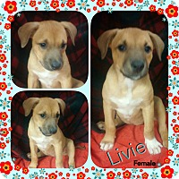 Adopt A Pet :: livie Adoption pending - Manchester, CT