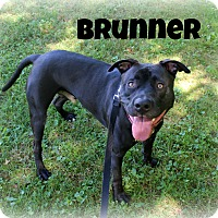 American Pit Bull Terrier Mix Dog for adoption in Melbourne, Kentucky - Bruenner