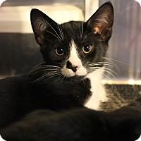 Domestic Shorthair Kitten for adoption in Carlisle, Pennsylvania - Franklin