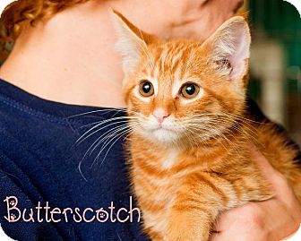 Domestic Shorthair Kitten for adoption in Somerset, Pennsylvania - Butterscotch