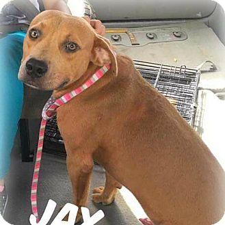 Labrador Retriever/Black Mouth Cur Mix Dog for adoption in Jacksonville, Florida - Jax