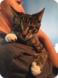 Domestic Shorthair Kitten for adoption in Huntley, Illinois - Abbey-cadabby
