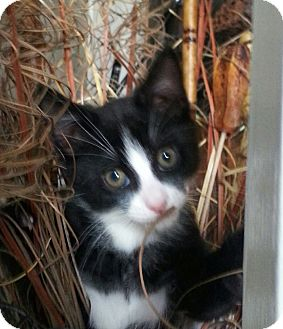 Domestic Shorthair Kitten for adoption in Mooresville, North Carolina - A..  Foxy