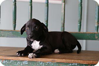 Labrador Retriever/Pit Bull Terrier Mix Puppy for adoption in San Antonio, Texas - Selah