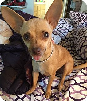 Chihuahua Mix Dog for adoption in San Diego, California - Penleigh
