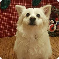 American Eskimo Dog Mix Dog for adoption in Oakland, Michigan - Mya