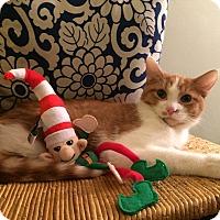Adopt A Pet :: Monkey Joe - Addison, IL