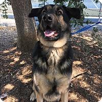 German Shepherd Dog Mix Dog for adoption in Lafayette, California - Zeus