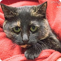 Domestic Shorthair Cat for adoption in Dickinson, Texas - Sockie