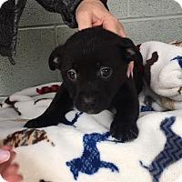 Adopt A Pet :: Daiquiri - Washington, DC
