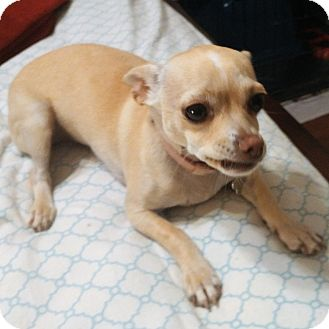 Chihuahua Mix Dog for adoption in Oakley, California - Baby