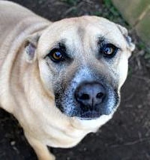 Shepherd (Unknown Type)/Mountain Cur Mix Dog for adoption in Memphis, Tennessee - Bill