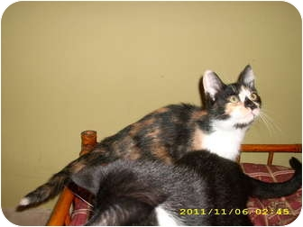 Calico Kitten for adoption in Simpsonville, South Carolina - Renne
