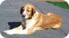 Brittany Dog for adoption in Wilmington, Massachusetts - Zara