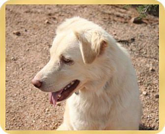 Golden Retriever/Australian Shepherd Mix Dog for adoption in Scottsdale, Arizona - Lacey