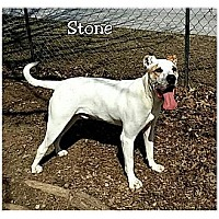 Great Dane/American Bulldog Mix Dog for adoption in Powder Springs, Georgia - STONE - COURTESY POST!