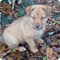 Adopt A Pet :: Moose - Albany, NY