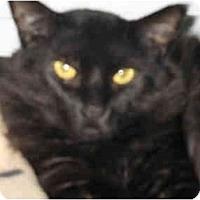 Adopt A Pet :: Nocturne - Mission, BC