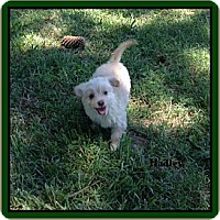 Adopt A Pet :: Hadley - Hampton, VA