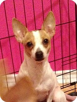Chihuahua/Rat Terrier Mix Dog for adoption in San Antonio, Texas - A274922 Dottie