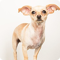 Adopt A Pet :: Molly..sweet and adorable! - Redondo Beach, CA