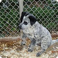 Adopt A Pet :: Tiffany Blue - Bedford, VA