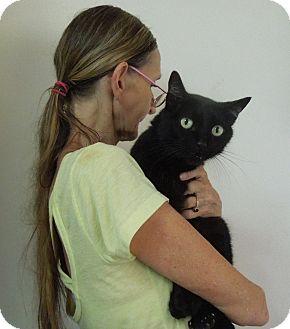 American Shorthair Cat for adoption in Makawao, Hawaii - BIGGERS