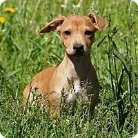 Adopt A Pet :: Emma - Pennigton, NJ