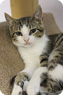 Domestic Shorthair Kitten for adoption in Medina, Ohio - Maddox