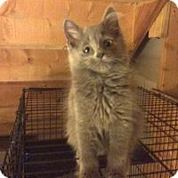 Adopt A Pet :: A Lil Gray - Rochester, MI
