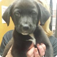 Adopt A Pet :: hannah - Groton, MA