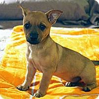 Australian Cattle Dog Mix Puppy for adoption in Chantilly, Virginia - Charlie's Angels Stella