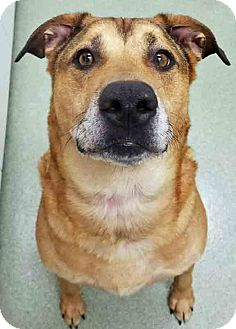 Shepherd (Unknown Type) Mix Dog for adoption in Channahon, Illinois - Louie